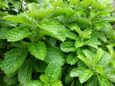 dedaunan alami untuk pereda maag